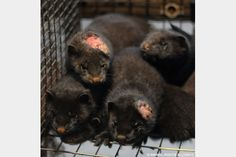 Shocking photos and video footage reveal the extreme suffering of minks on Swedish fur farms. Learn how you can help animals on fur farms today!