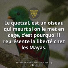 The quetzal is a bird that dies if we put it in a cage, that is why it represents freedom to the Maya. The quetzal is a bird that dies if we put it in a cage, that is why it represents freedom to the Maya. Maya, Interesting Information, Sweet Words, The More You Know, Live Love, My Mood, Things To Know, Quotations, Fun Facts