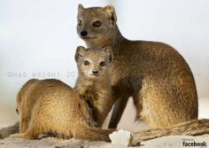 Yellow Mongoose Family by Chad Wright Photography