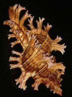 Chicoreus palmarosae 107mm w/o GEM MASSIVE PINK FRONDED HUGE IMPRESSIVE | eBay