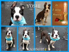 KILLED 11-8-15 Manhattan Center My name was YOSHI. My Animal ID # was A1056107. I was a male black and white am pit bull ter mix. The shelter thinks I am about 1 YEAR 1 MONTH old. I came in the shelter as a STRAY on 10/27/2015 from NY 10453, owner surrender reason stated was STRAY.
