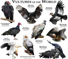 Fine art illustration of various species of the world's vultures