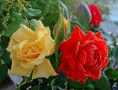 rose scintillante - Szukaj w Google
