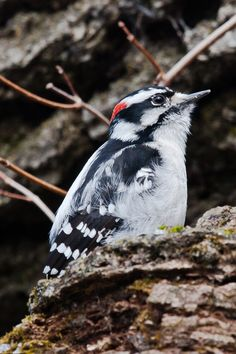 downy woodpecker  lemoines pointe kingston march10