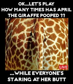 Ok, lets play...How many times has April the giraffe Pooped'? While everyone's staring at her Butt... #aprilthegiraffe