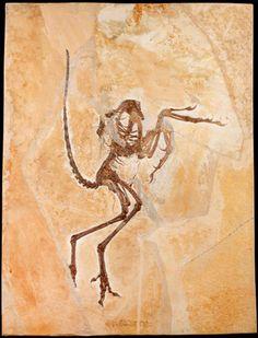 Resultado de imagem para archaeopteryx fossil tail