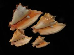 Strombus tricornis peruvianus      -   P.Kanner