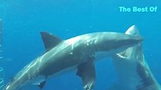 Crazy Shark Attacks (GoPro video)by Great White Shark, Bull Shark, Tiger Shark in Australia, South Africa, California great barrier reef. Shark Attacks, Gopro Video, Great White Shark, Great Barrier Reef, Wild Animals, Whale, Africa, Pets, Whales