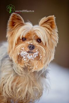 yorkie's love the snow altho they can't take the cold for too long ... but a nice play in the snow is fun for them and you!