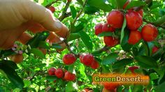 5 fruit trees that will have you eating for the whole year! CITRUS, DATE PALMS, BARBADOS CHERRY( ACEROLA)...MORE!
