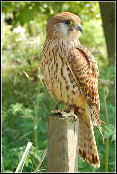 kestral! Like to fly low, scim the fields and grass, and nest on the ground!