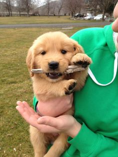 Golden Retriever puppy with a stick