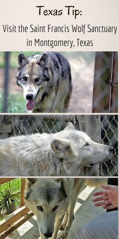 A hidden gem in southeast Texas, the Saint Francis Wolf Sanctuary is a great pit stop on a road trip, or if you're spending time in Houston, Austin, or surrounding areas. They have fifteen BEAUTIFUL wolves!