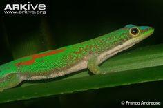 Day gecko videos, photos and facts - Phelsuma antanosy | ARKive