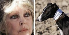 50 000 Lévriers sacrifiés : Brigitte Bardot écrit au roi d'Espagne et lance une pétition