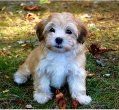 I discovered Havanese puppies yesterday and they cutest, softest, most easy going puppies in the whole world!! I want one.