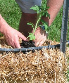 plant potatoes in straw bales. ( NOT hay).  Hay has too much weed seed in it.
