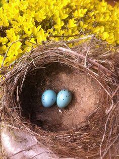 Song Thrush eggs and abandoned nest