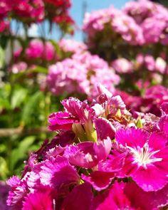 #flowers #amazing #garden #myphoto💐📷 My Photos, Amazing, Garden, Flowers, Plants, Photography, Garten, Photograph, Lawn And Garden