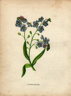 Antique botanical print :  Forget-me-not / Myosotis plant / Anne Pratt 1855 nl.picclick.com