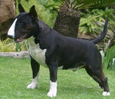 Photo : Trick or Treat Usher the Raven at Calub...bred by Julie Deutsch and imported to South Africa from France. Usher was a son of Multi Ch Lubjan Rock and Stone x Trick or Treat Nevermore - a daughter of the legend Einstein The Joker.
