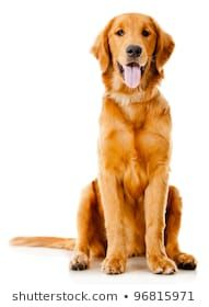 Royalty Free Golden Retriever Dog Stock Images Photos Vectors
