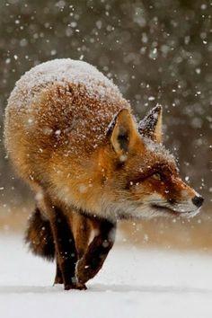 Snow Fox                                                                                                                                                                                 Mais