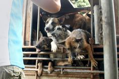 You can save thousands of dogs from unspeakable pain by adding your name to Soi Dog's global petition. It calls on Thailand's leaders to crack down hard on the criminals who profit from the agony of animals. Please pass this along and sign it.