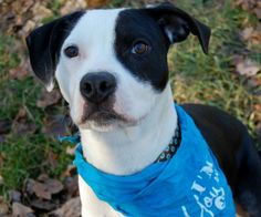 Meet Andrew! His personality will keep a smile on your face all day! He would love to spend the day on your couch cuddling with you, your children, or other dogs! He will let you know when he needs to go outside and also knows a number of basic...