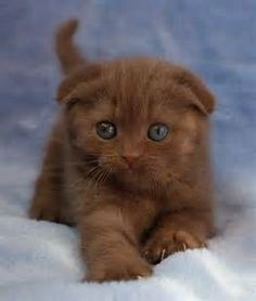 Chocolate Scottish Fold kitten via findpik.com