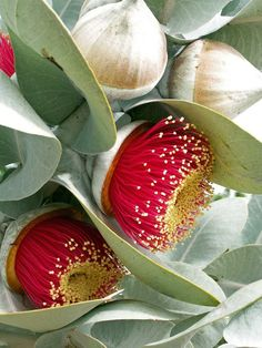 Eucalyptus macrocarpa flowers - rose of the west, a favourite, hardy, bird-friendly Australian native species
