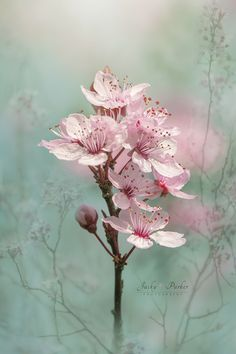 ~~Cherry Clouds | Black Cherry Plum Blossoms | by Jacky Parker~~