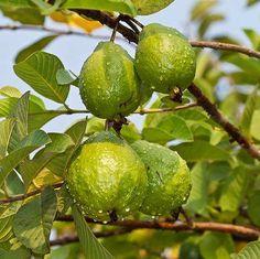 Guava Tree Ruby Supreme