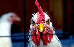 10 Fun Facts About Chickens