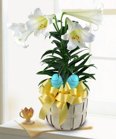 Blooming Easter Lily  - Griffins Floral Deisgn - Columbus Easter Flowers - Columbus Florist - Same Day Flower Delivery Columbus Ohio