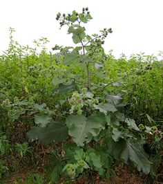 Burdock- You can eat the leaves and the peeled stalks of the plant either raw or boiled. The leaves have a bitter taste, so boiling them twice before eating is recommended to remove the bitterness. The root of the plant can also be peeled, boiled, and eaten.
