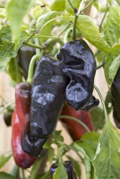 2015: Year of the Sweet Pepper - Black Knight F1 has large long tasty peppers that mature to an attractive glossy purple-black.