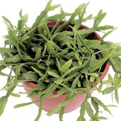 Kangaroo paw fern one of over 400 varieties from exotic for How to take care of exotic angel plants