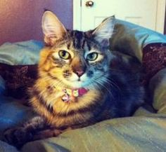 Franny is an adoptable Maine Coon Cat in Nacogdoches, TX. This beautiful medium to long haired Tabby/Calico (also referred to as a Tabbico) was found scrounging for food behind a restaurant off of a m...