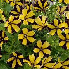 Petunia Hybrida Sunflower Yellow Stripes, Black N Yellow, Plantation, Tropical, Plants, Gardening, Replant, Lawn And Garden, Plant