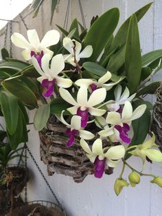 Two tone orchids