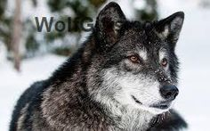 Visit WolfGifts.com for more cool wolf photos. Tier Wallpaper, Wolf Wallpaper, Wallpaper Pictures, Animal Wallpaper, Forest Wallpaper, Wallpaper Ideas, Wallpaper Downloads, Wolf Images, Wolf Photos
