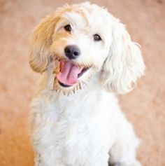 HUGO is an adoptable Poodle Dog in Glendale, CA. Hugo is a two year old twenty-nine pound Poodle mix. This striking fellow is very social and seeks attention from humans. He is friendly and full of en...