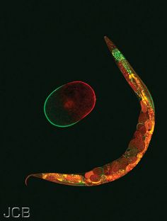 Worms can be beautiful :) A C. elegans adult and a polarized embryo express the polarity proteins PAR-2 (green) and PAR-6 (red). JCB Flickr