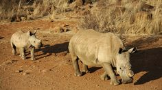 A black dehorned rhinoceros is followed by a calf at the Bona Bona Game Reserve in 2012. South Africa has seen a devastating increase in poaching in recent years as black-market demand for rhino horn has grown.