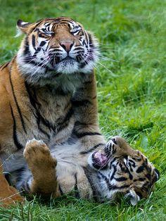 Sumatran Tigers   by Barry Lloyd