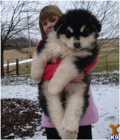 giant alaskan malamute; omg is this a puppyyy?! WANT. I have one like that…