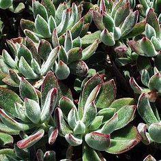 Echeveria 'Pulv-oliver'atSan Marcos Growers