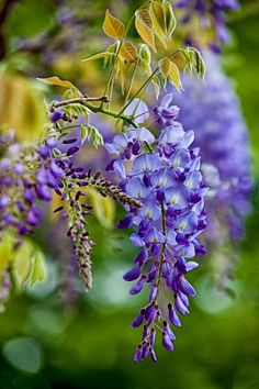 Graceful wisteria. This is one of the things I miss about being home in Alabama....the wisteria draping all over everywhere in cascades of tendrils of blooms...SO BEAUTIFUL