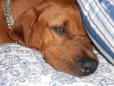 My Red Bone Coon Hound, Teddy.  Not much hunting going on around here, unless it's for a milk bone.